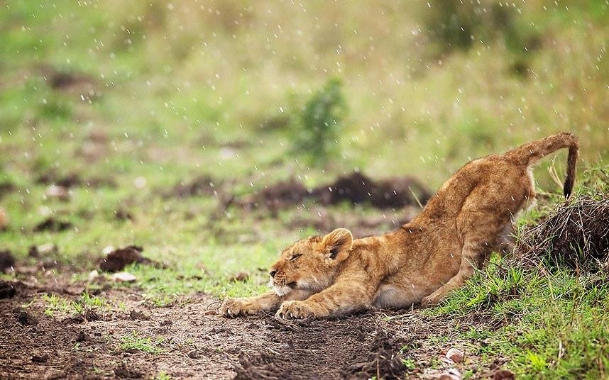 Львенок под дождем в Национальном заповеднике Масаи Мара в Кении