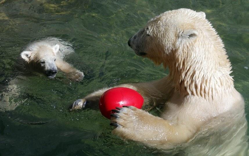 Белые медведи в зоопарке Санкт-Петербурга