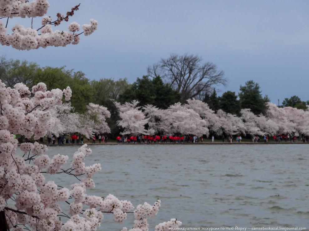 Фестиваль цветения вишни