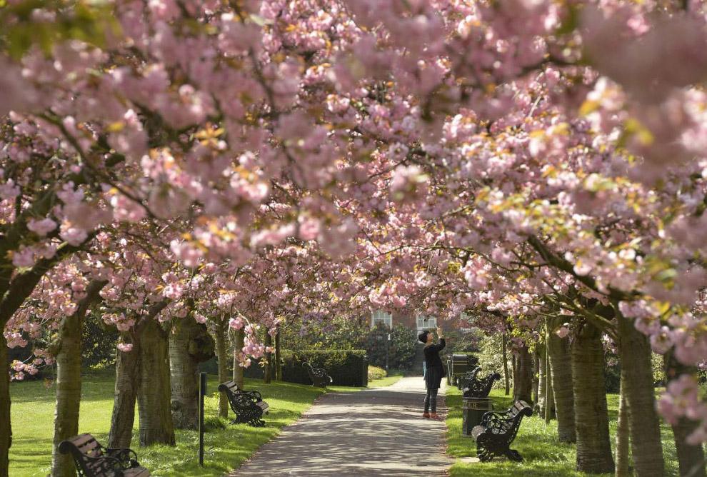 Фестиваль цветения вишни в Лондоне