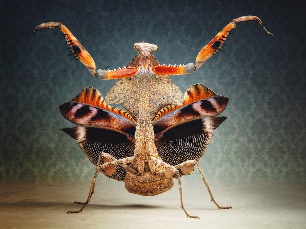 Малайзийский листовидный богомол