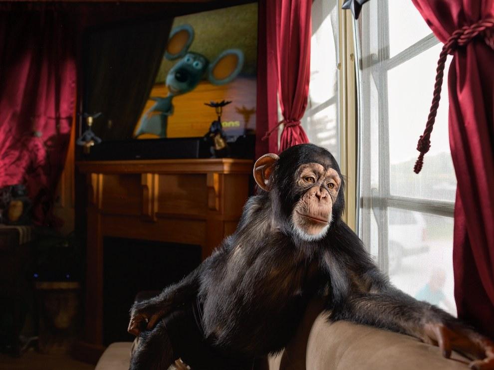 Шимпанзе Ченса, США