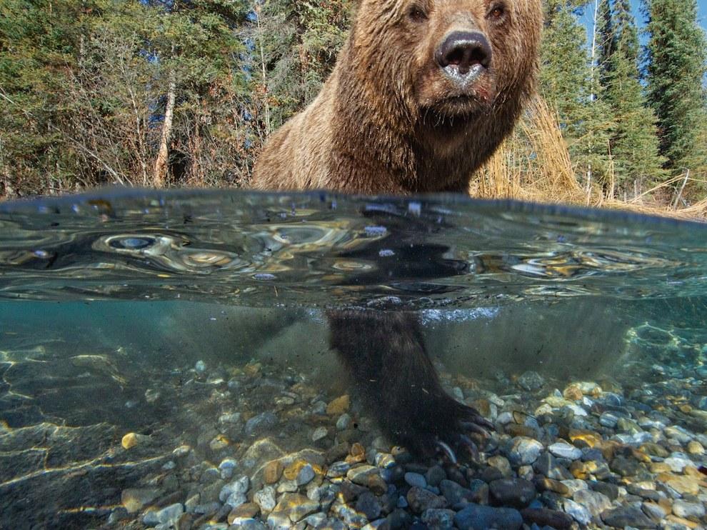 Медведь гризли, Канада