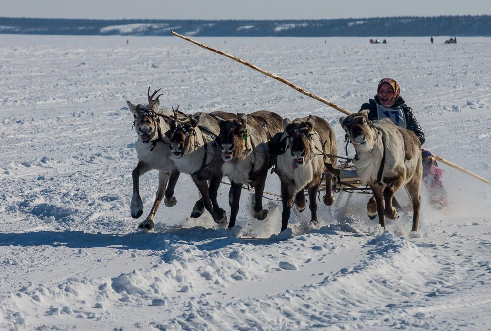 Путешествие по тундре и День оленевода