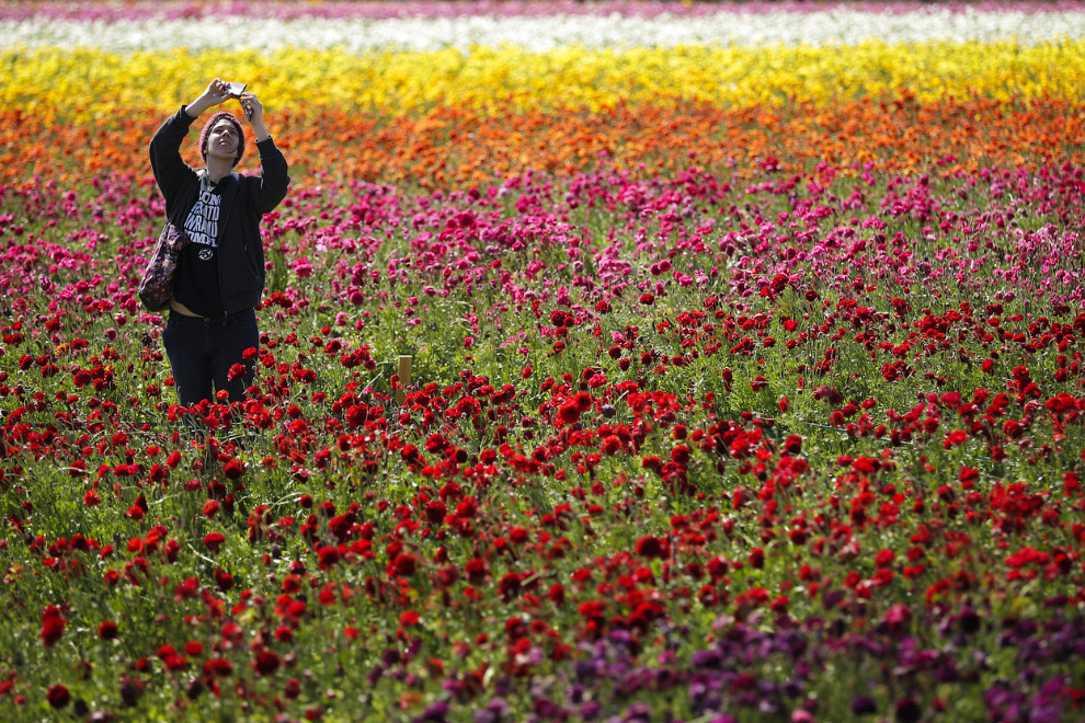 Цветочные поля под Карлсбадом, Калифорния