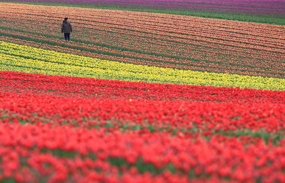Поле тюльпанов в Германии