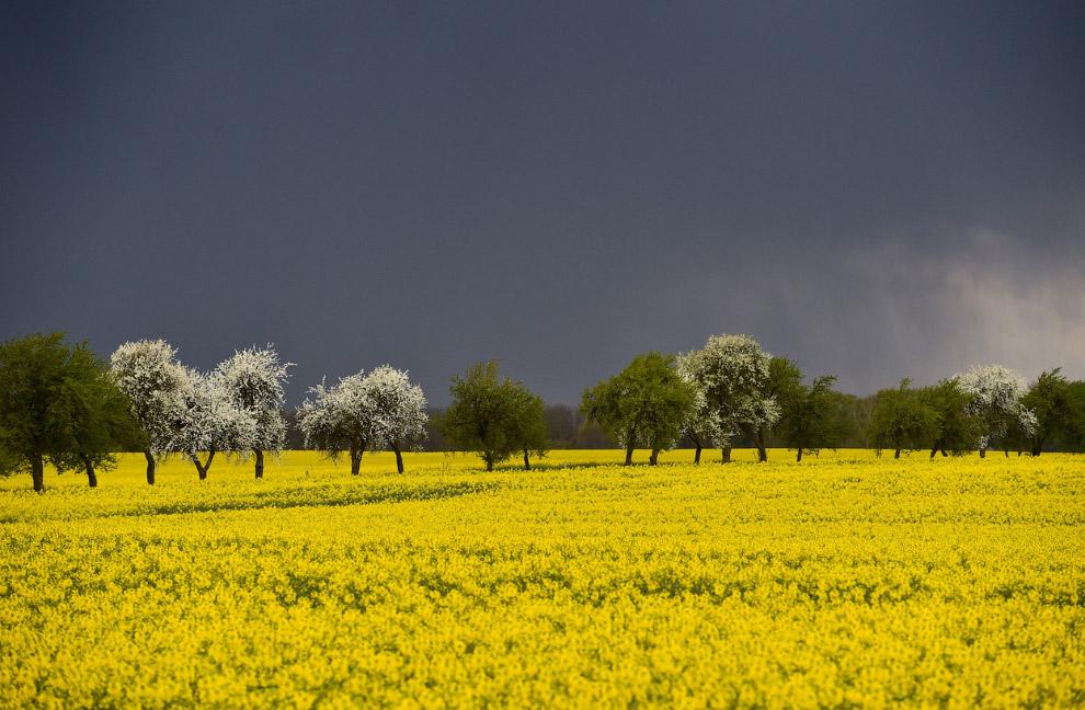 Тучи над рапсовым полем в Германии