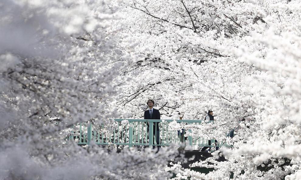 Цветущие вишни в Токио