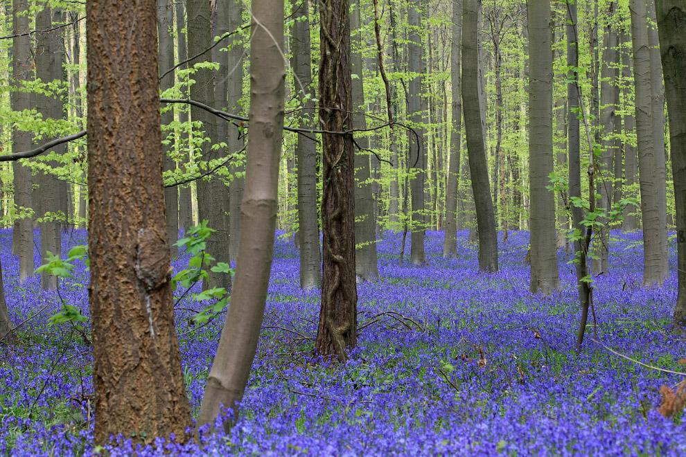 Тысячи колокольчиков в лесу под Брюсселем