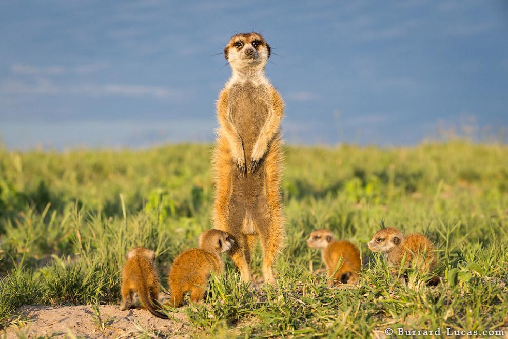 Сурикаты Ботсваны