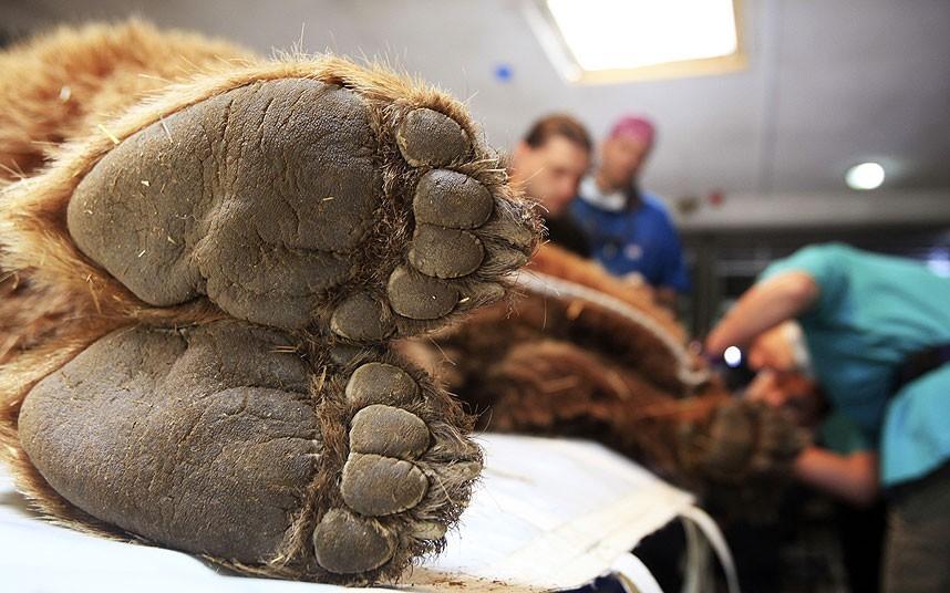 Бурый медведь на приеме у ветеринара в Приштине, КосовоБурый медведь на приеме у ветеринара в Приштине, Косово