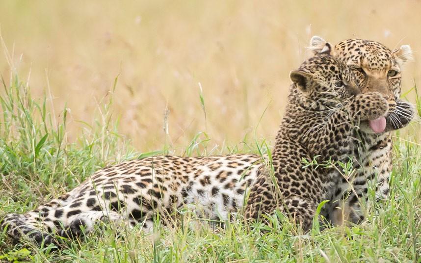 Детеныш леопарда обхватил лапами мамин нос