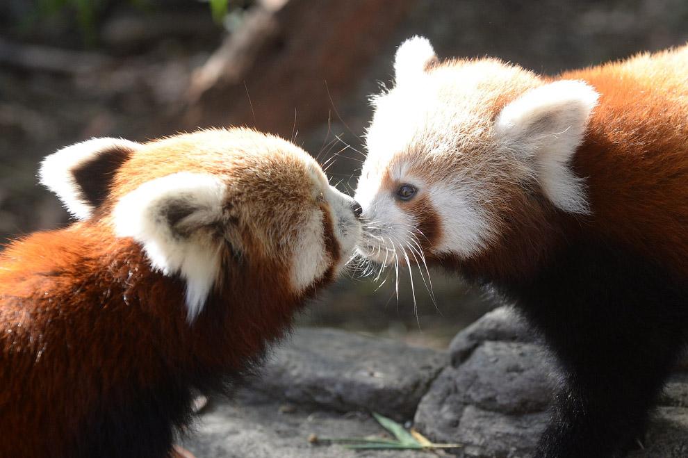 Общение двух малых панд в парке в Канберре, Австралия