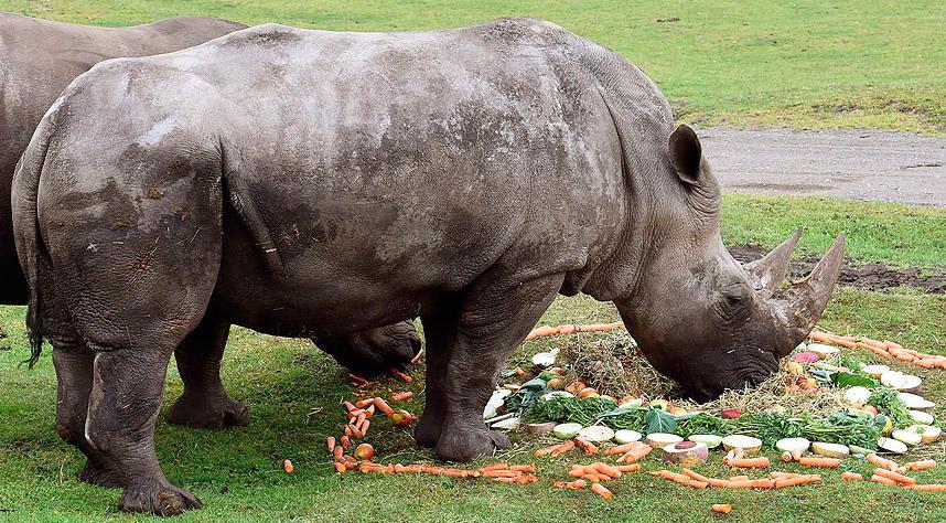 Овощной торт ко дню рождения белого носорога Молли