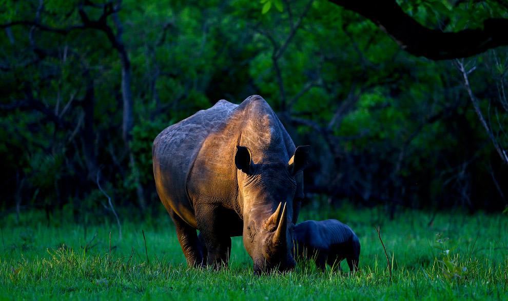 Белый носорог по имени Белла и ее однодневный детеныш
