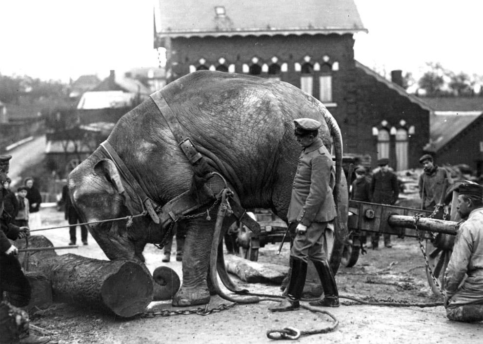 Немецкие солдаты во Франции используют индийского слона из зоопарка