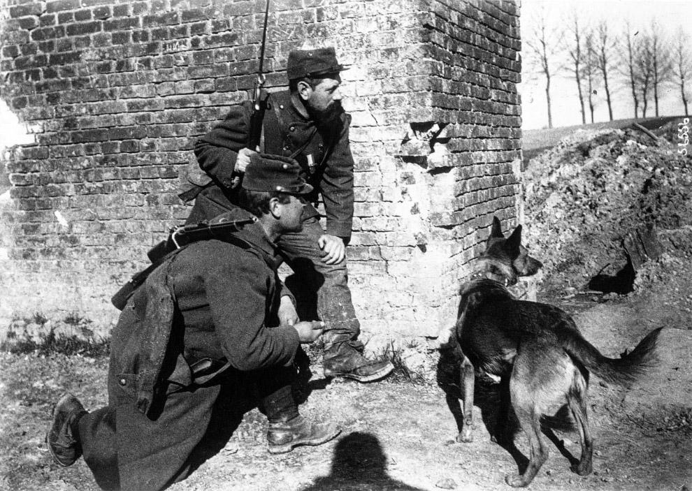 Собака, обученная разыскивать раненых солдат