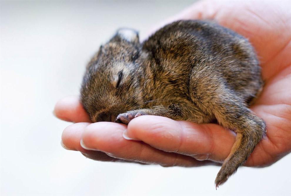 Кролик на острове кроликов, Япония