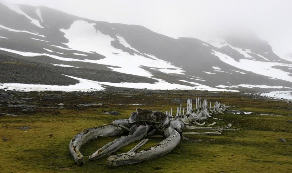 Сборный скелет ископаемого кита. Собран известным французским исследователем Жаком Кусто в 1979 году