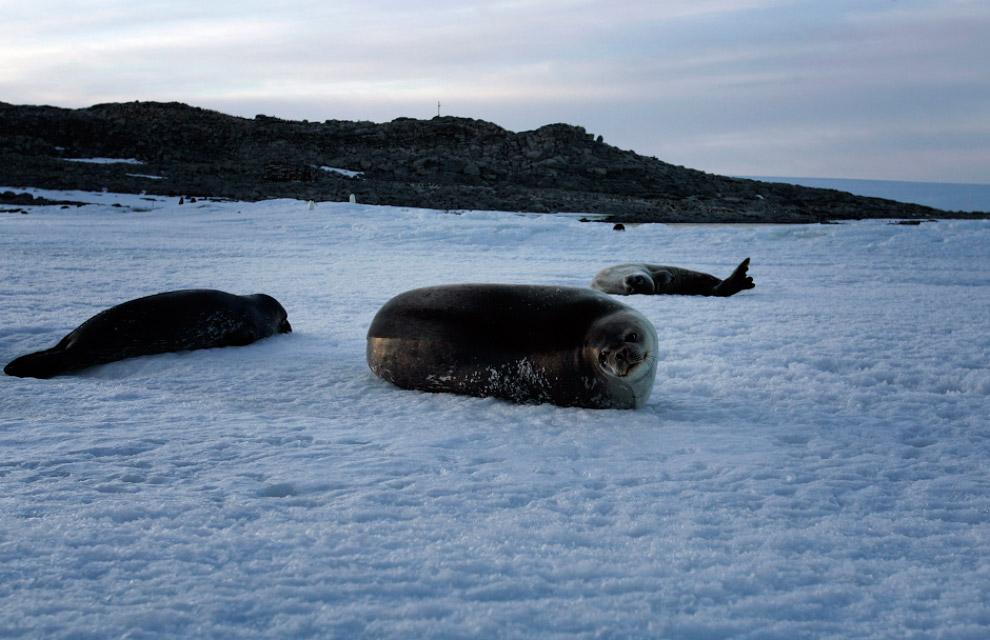 Тюлени на мысе Денисон в заливе Содружества, Восточная Антарктида