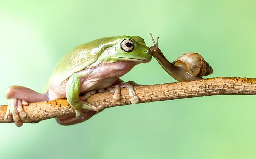 Зеленая лягушка и улитка встретились на дереве в Джакарте, Индонезия