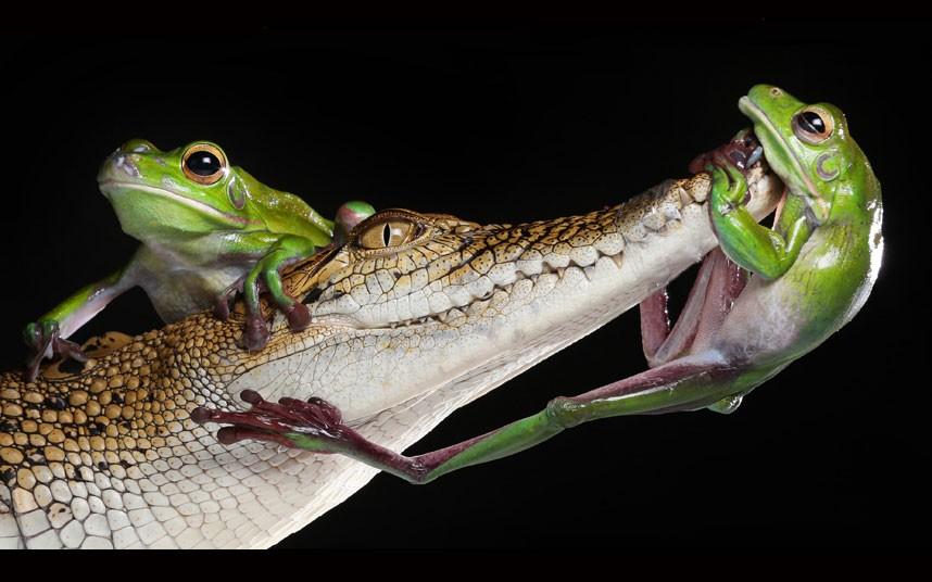 А две другие нахальные амфибии забрались на крокодила, Мельбурн, Австралия