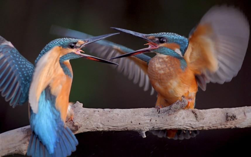 Борьба зимородков около реки за наиболее выгодную позицию для рыбалки, Болгария