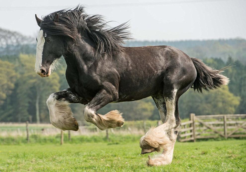 Лошадь-тяжеловоз Клайдсдейл
