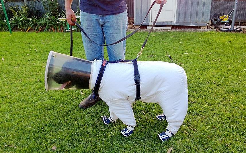 Черный Лабрадор по кличке Базз проходит обучение, чтобы обнаружать по запаху опасное заболевание пчел под названием Американский гнилец