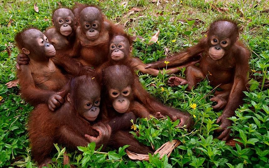 """Еще один """"семейный"""" портрет, на этот раз орангутангов на Борнео"""