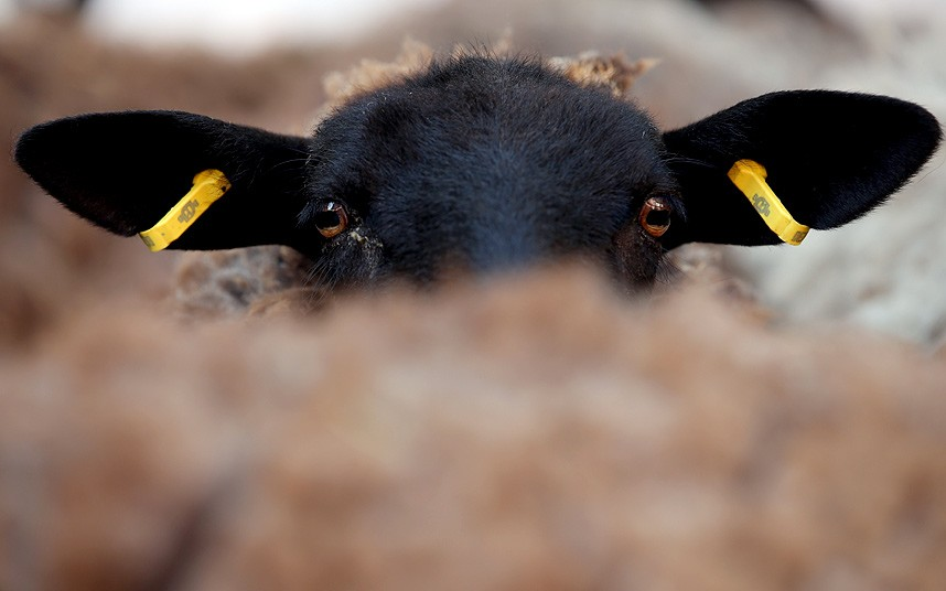 Акция протеста пастухов у здания администрации в Потсдаме, Германия, которые требуют большей поддержки со стороны государства