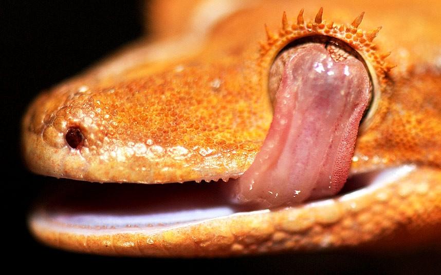 Оказывается, гекконы умывают свои глаза языком