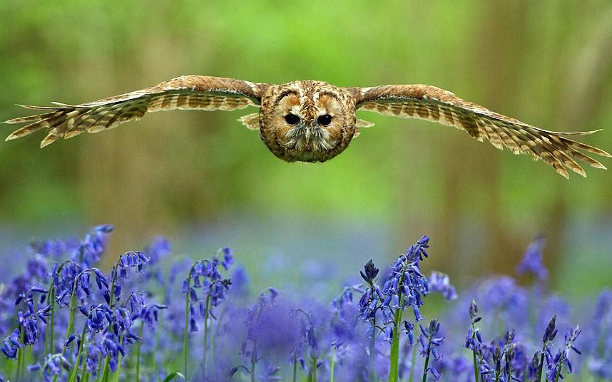 Неясыть летит над ковром из колокольчиков а английском графстве Суррей