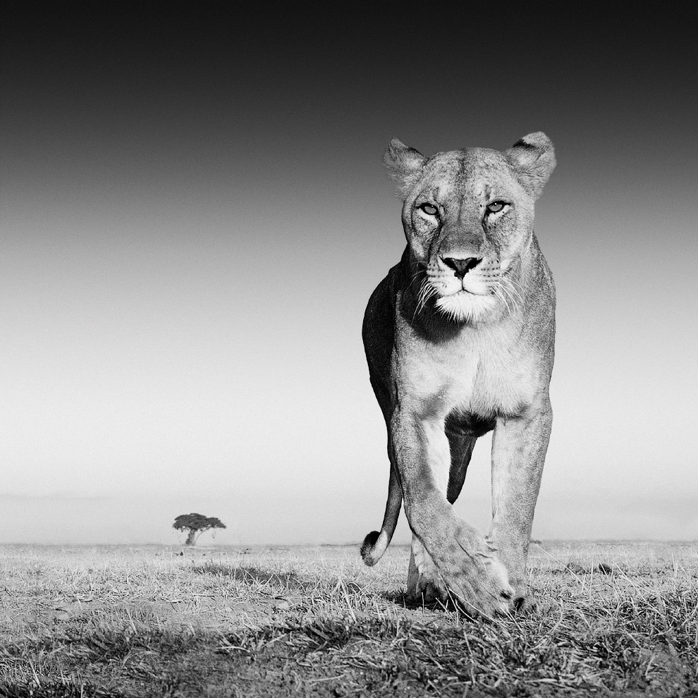Фотограф Дэвид Ярроу говорит, что использовал запах лосьона после бритья, чтобы привлечь львов к своим камерам