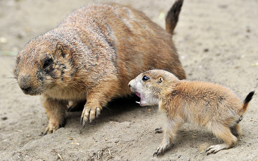 Маленькая луговая собачка обозлилась на свою саму в гамбургском зоопарке