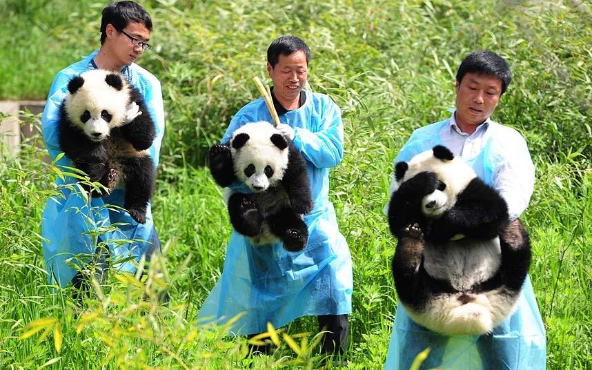 Представление публике трех недавно родившихся панд
