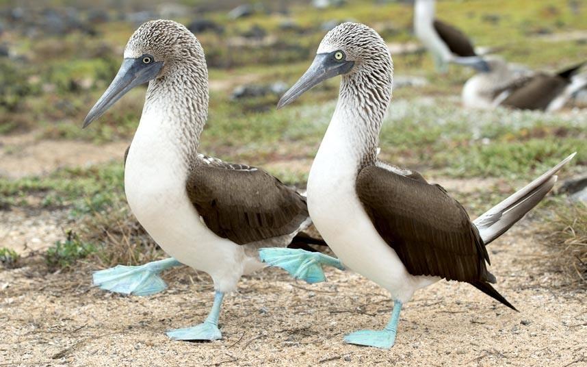 Голубоногие олуши на на Галапагосских островах