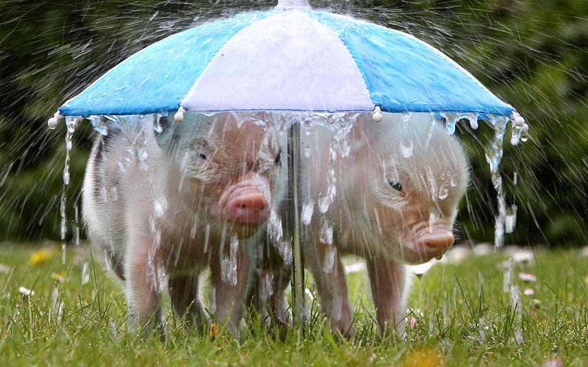 Пара поросят укрываются от дождя под зонтиком
