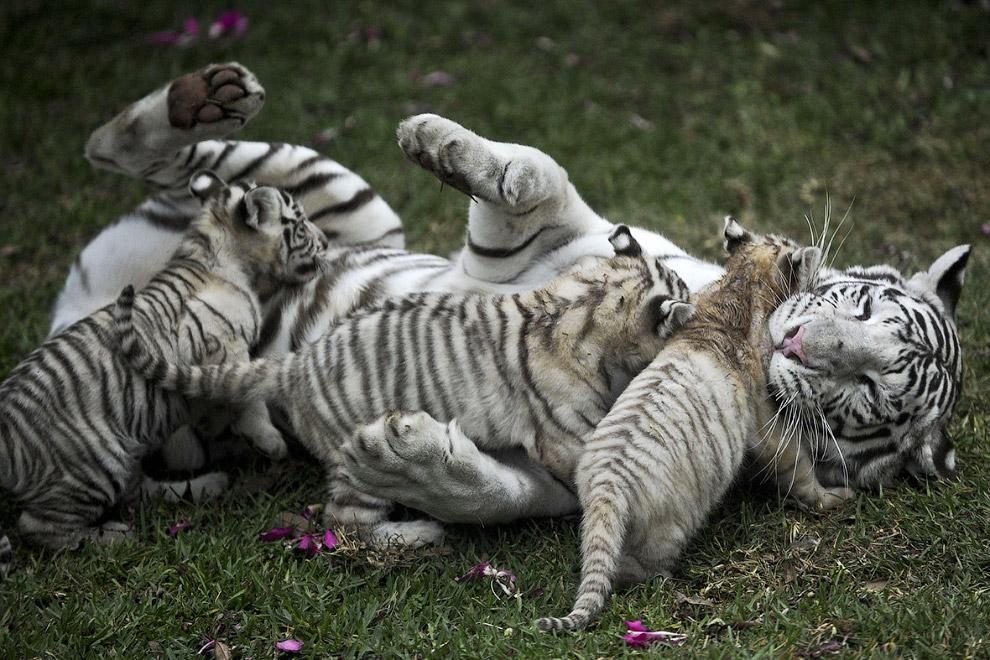 Бенгальская тигрица играет с тремя своими детьми в зоопарке в Лиме, Перу