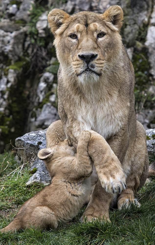 Азиатская львица Шива с детенышем во французском зоопарке