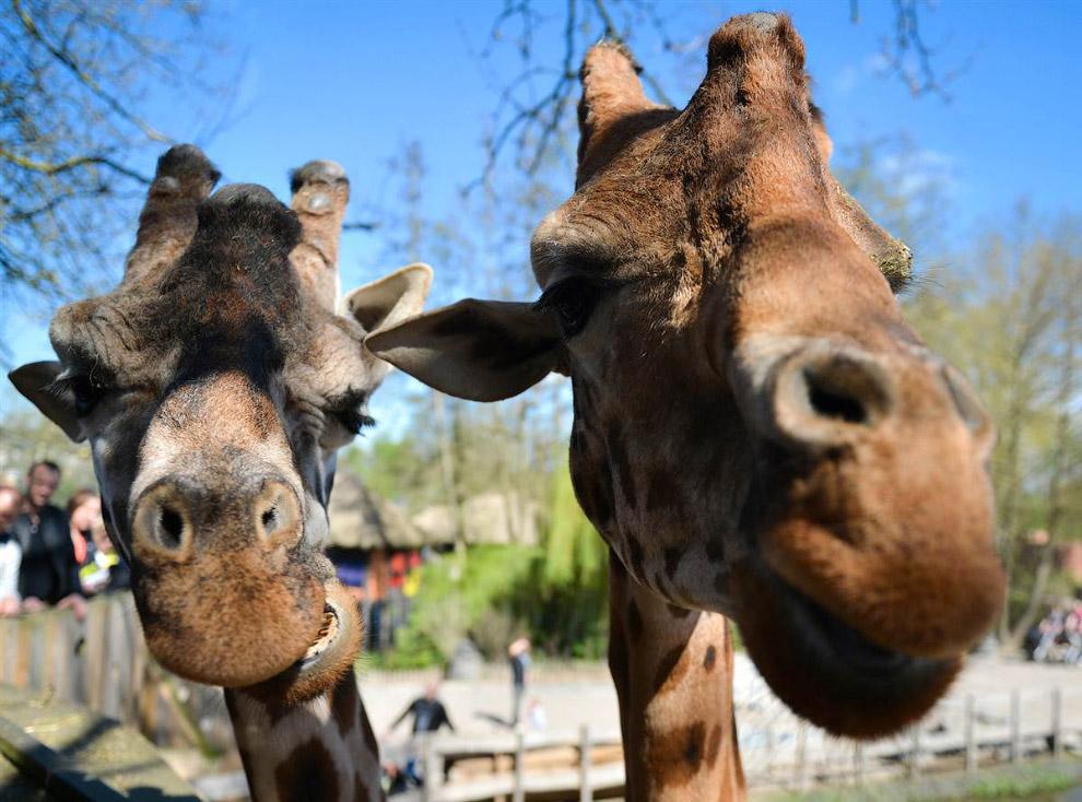 Нестандартный взгляд на жирафов