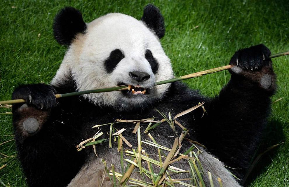 Гигантская панда за обедом в парке животных в Брюсселе