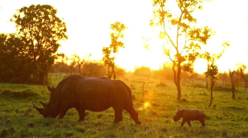 Закат и белые носороги, Накасонголе, Уганда