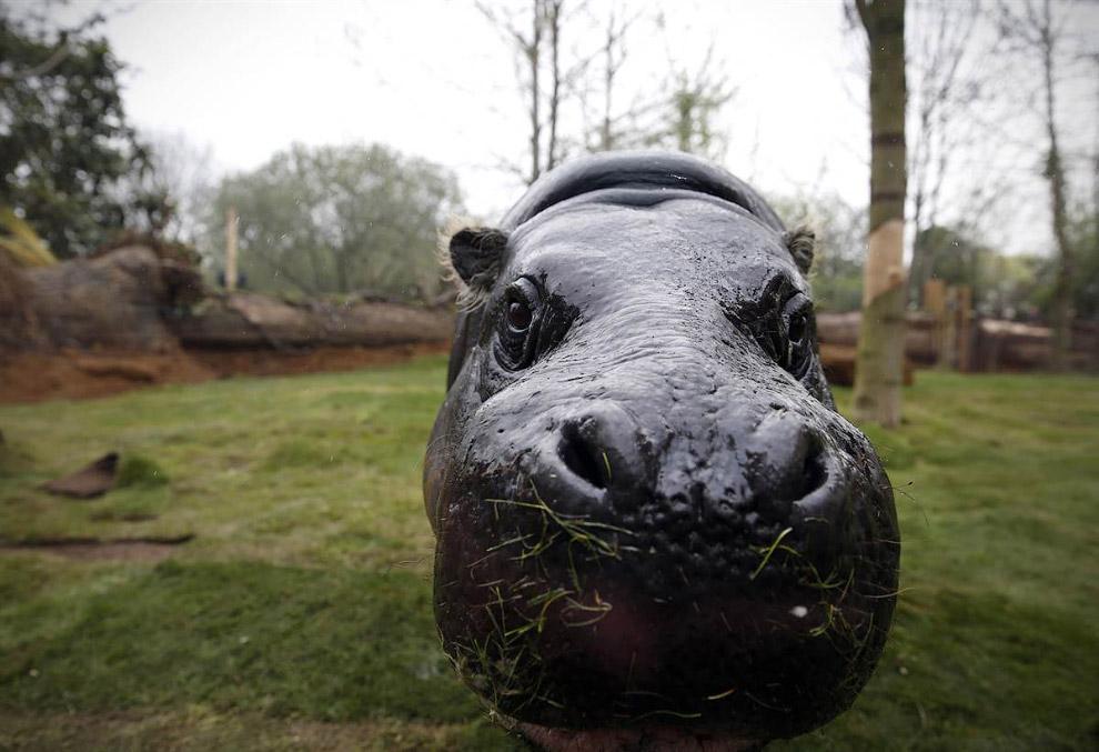 17-летний карликовый бегемот в зоопарке в Лондоне