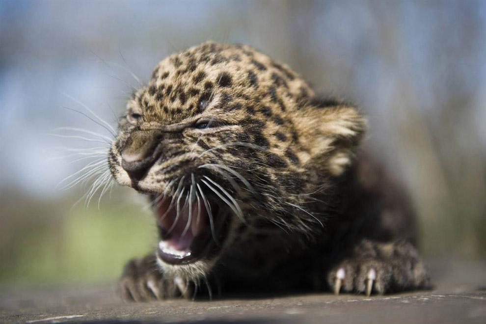 4-недельный детеныш леопарда