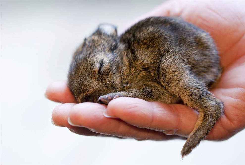 Крочешный кролик по имени Рюдигер в зоопарке в Мюнстере, Германия