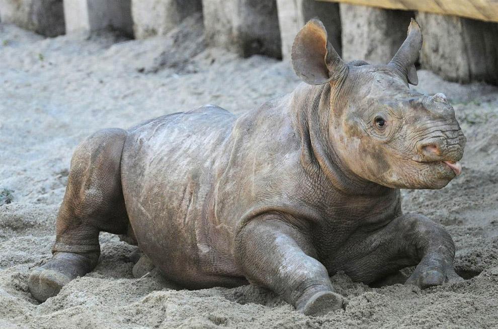Маленький черный носорог в зоопарке Лейпцига