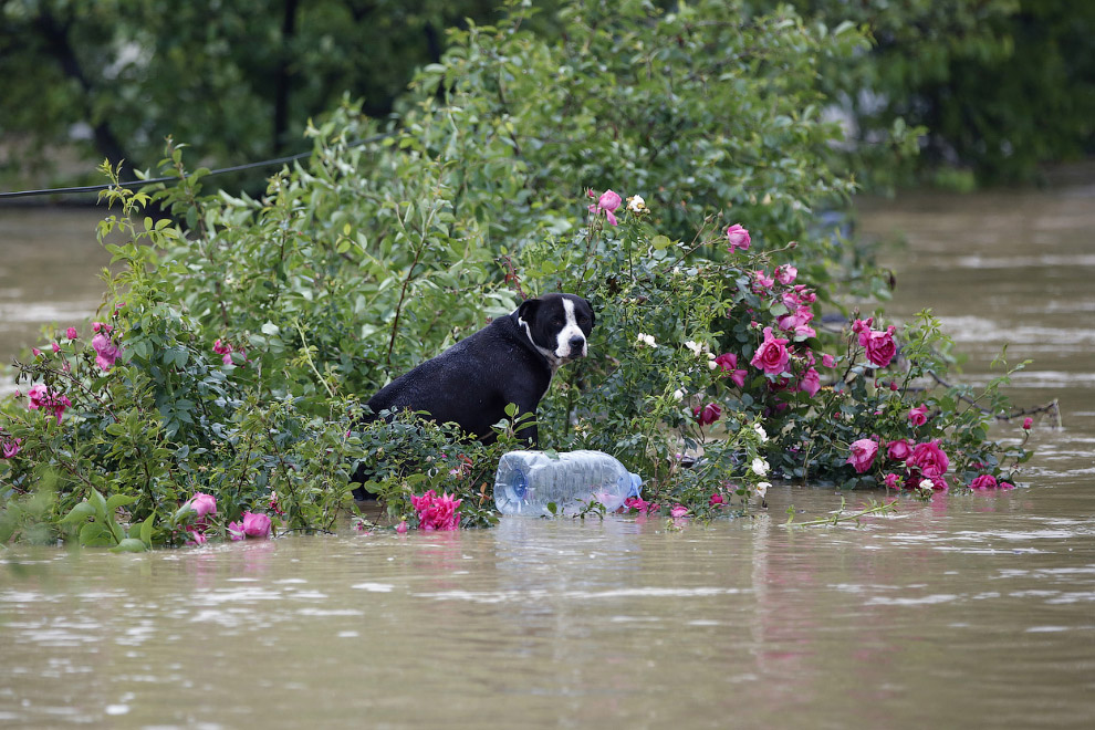 Собака на затопленной улице города Обреновац, Сербия