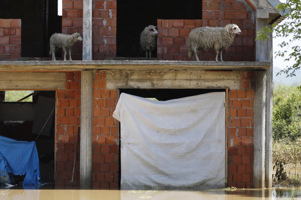 В Сербии затоплено 80 тысяч гектаров сельскохозяйственных земель, на фермах погибло огромное количество домашнего скота