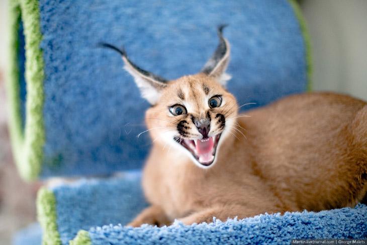 Питомник диких африканских кошек